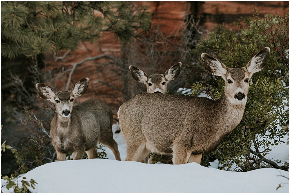 Mule Deer Angels Landing Landscape