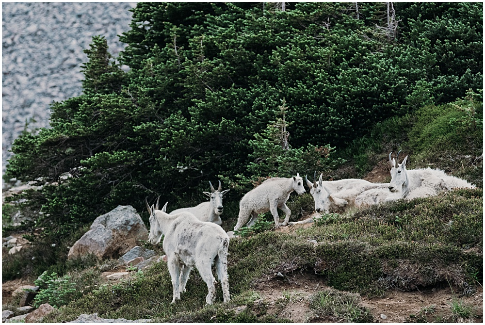Mount Rainier Goats
