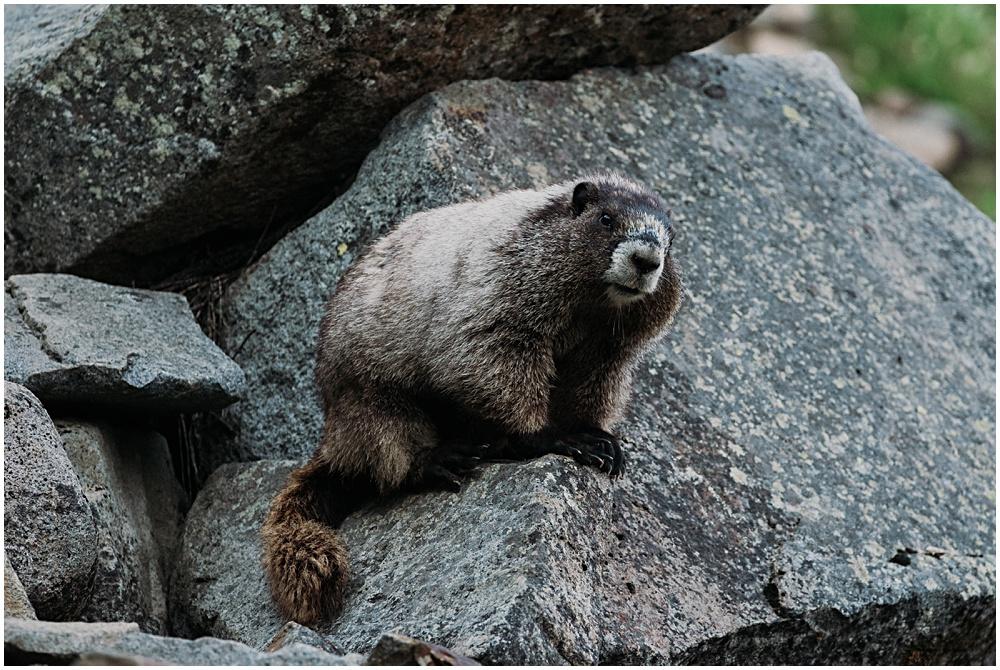 Marmot Mount Rainier National Park
