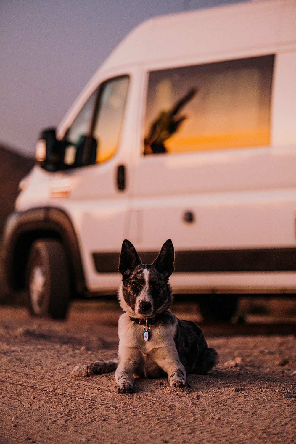 Texas Heeler Van Dog